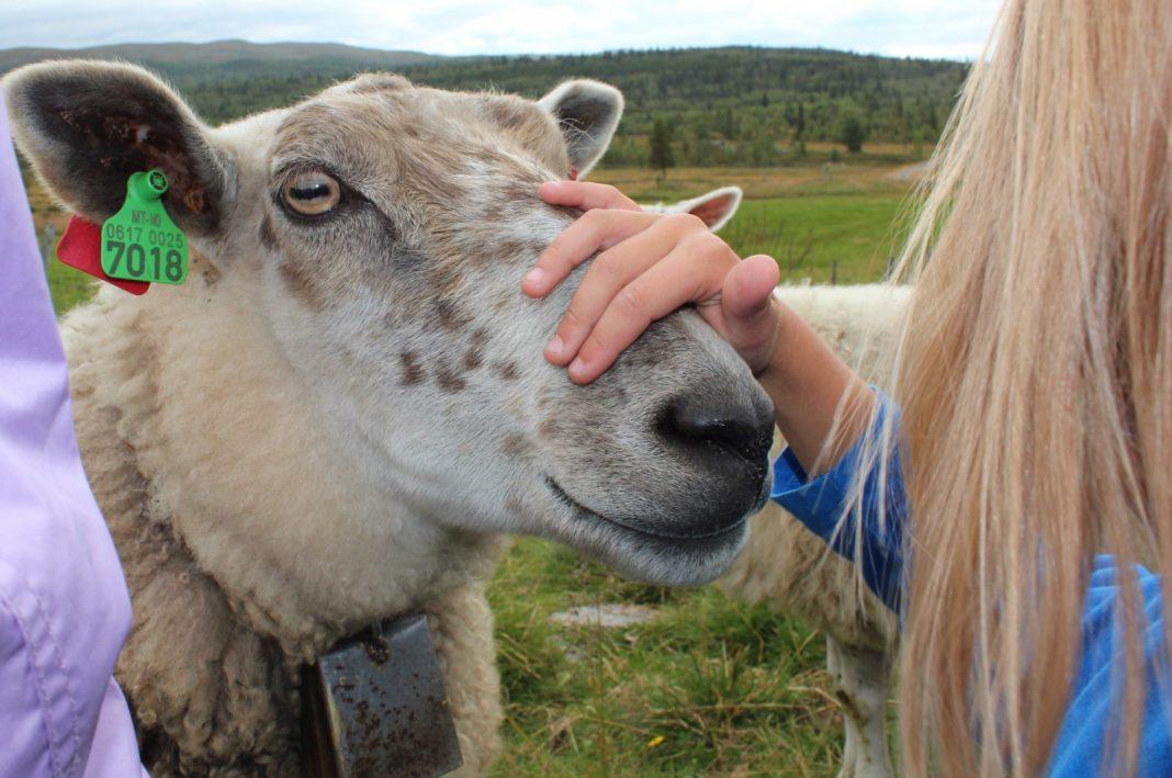 Fårefestivalen(sheep festival) at Gol 22-23 Sept. 2017